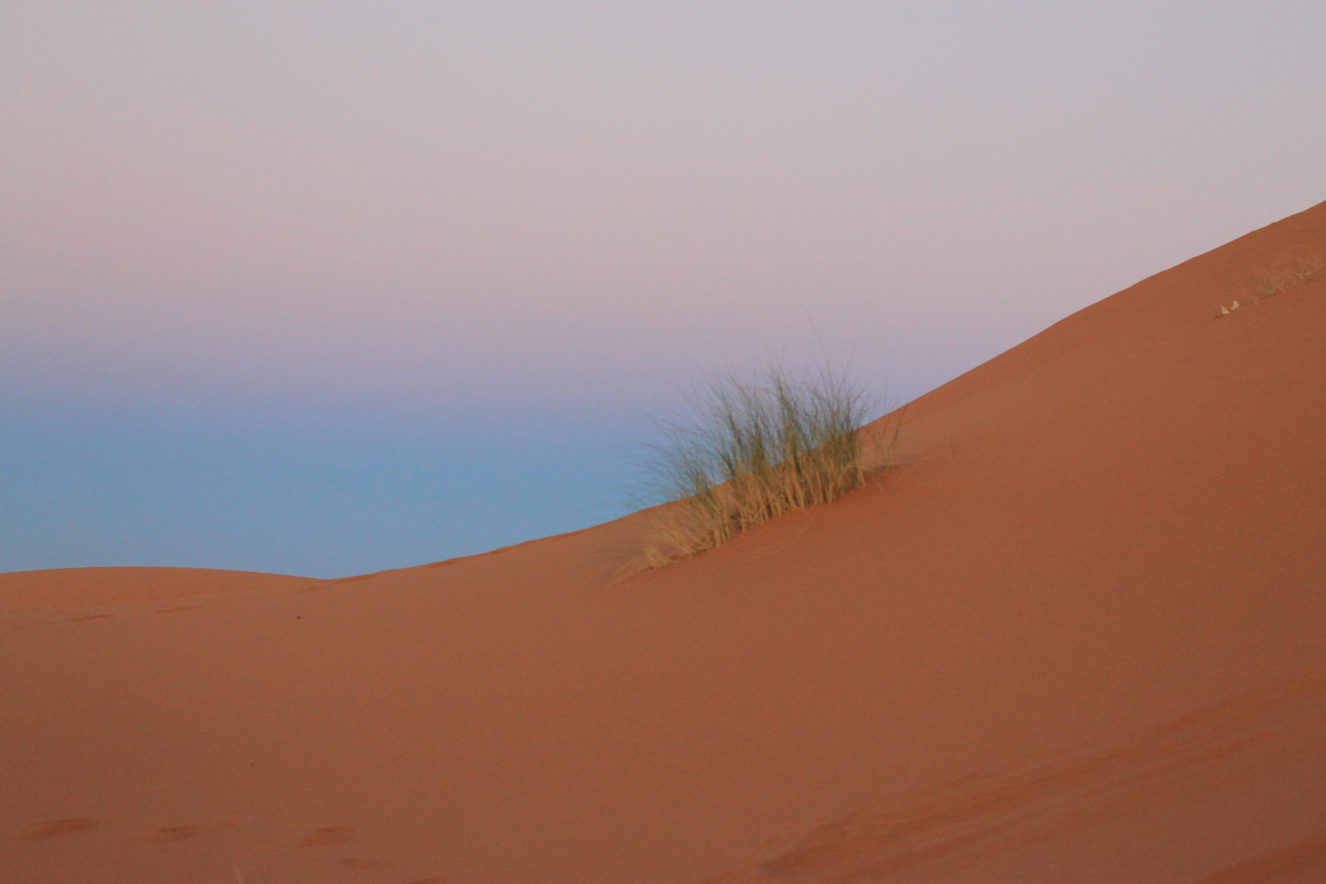Une touffe d'herbe dans les dunes du Sahara