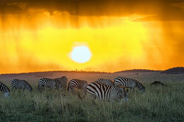 Des zèbres au parc de Masai Mara au Kenya