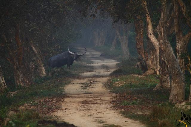 Un buffle dans le parc de Brahmaputra