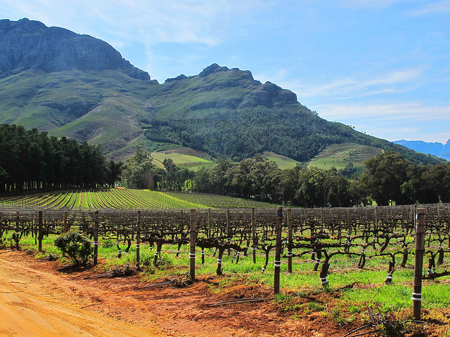 Vignoble à Stellenbosch