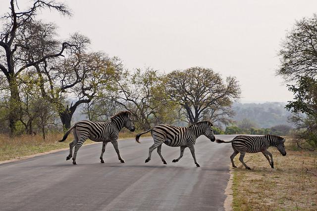 Des zèbres dans le parc Kruger