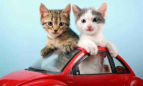 Chats en voiture !