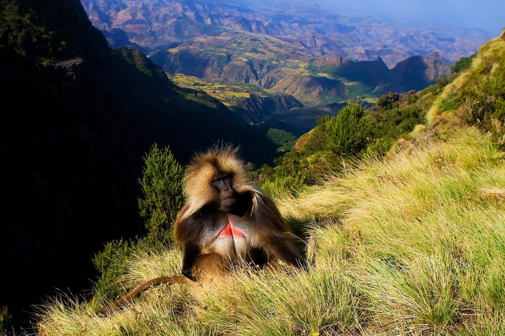 Le babouin Gelada
