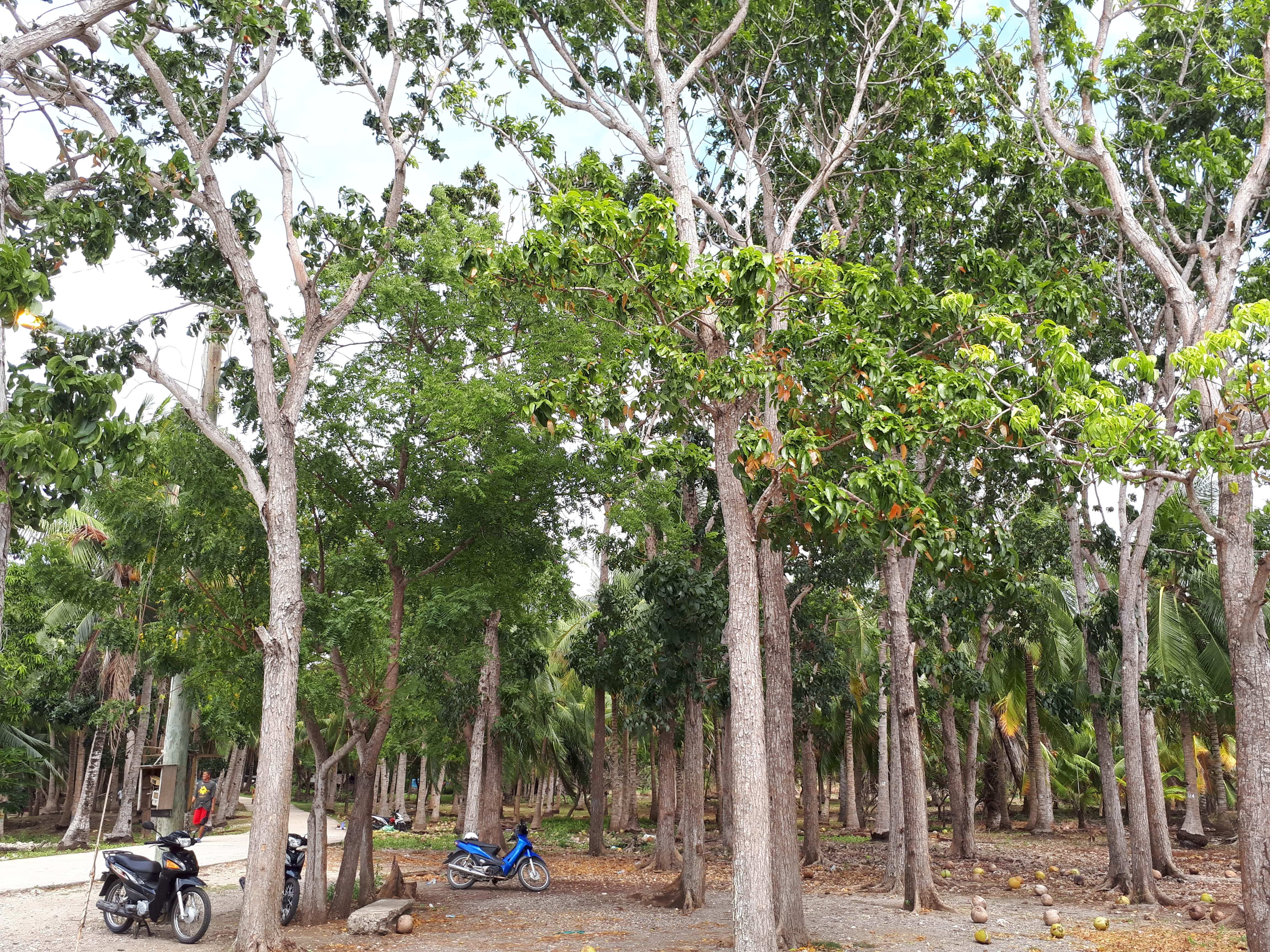Un champ de cocotier et notre scooter près de Paliton