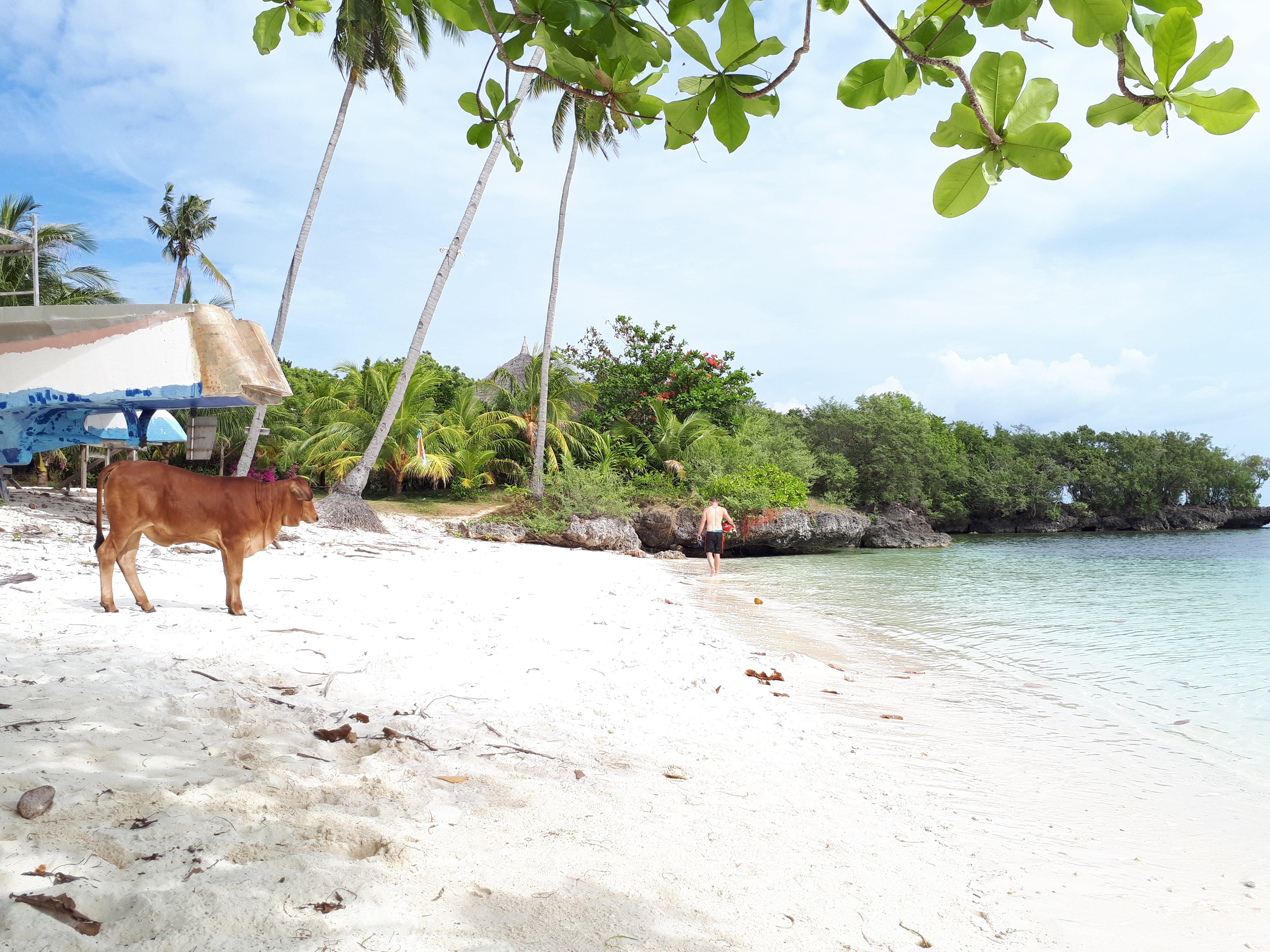 Une vache s'invite sur la plage de Paliton à Siquijor aux Philippines