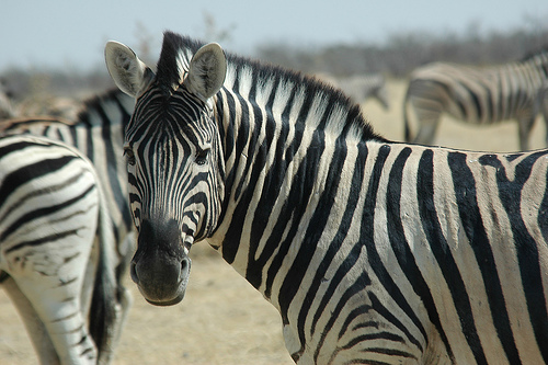Un zèbre dans le parc d'Etosha en Namibie
