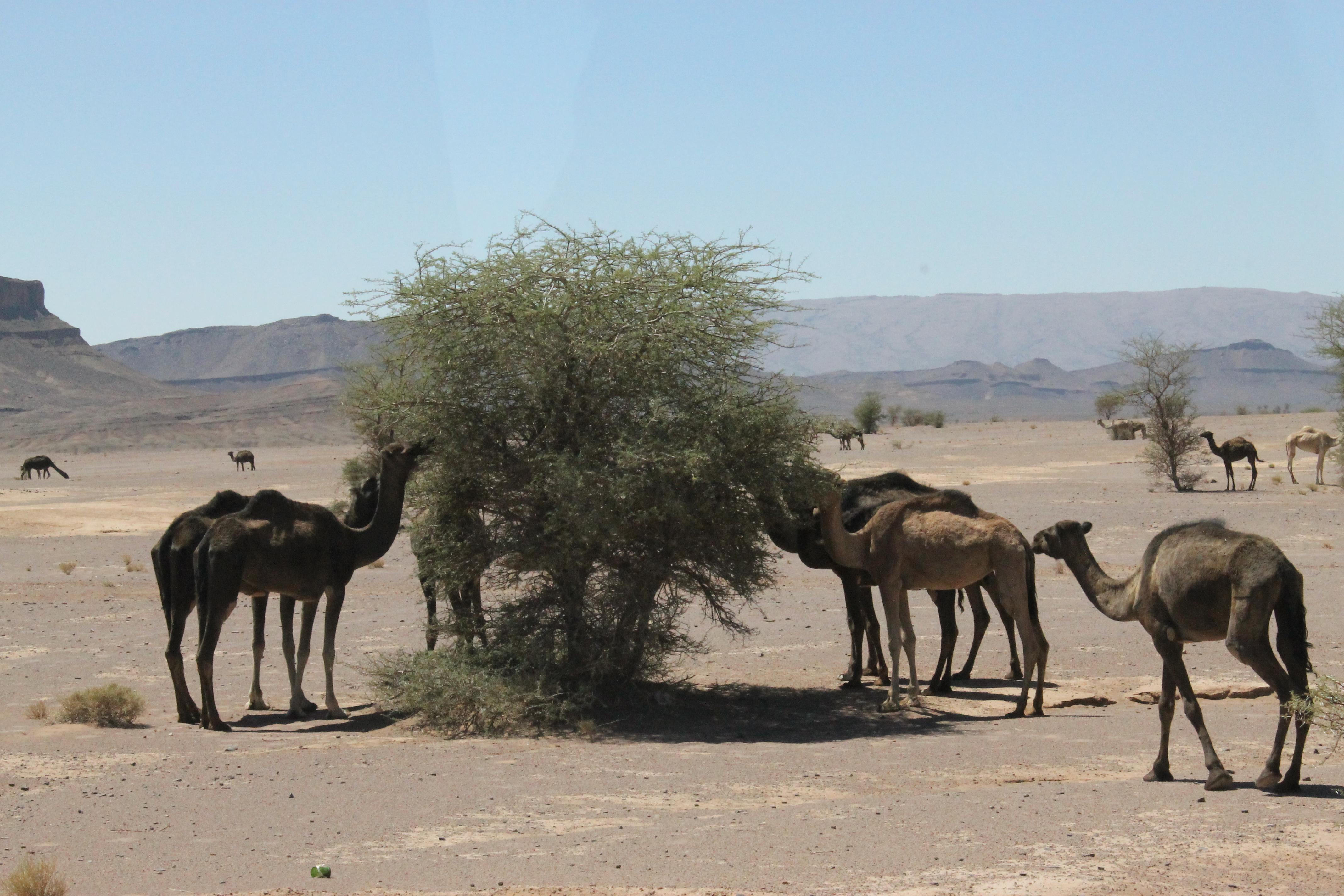 Des dromadaires dans le désert marocain