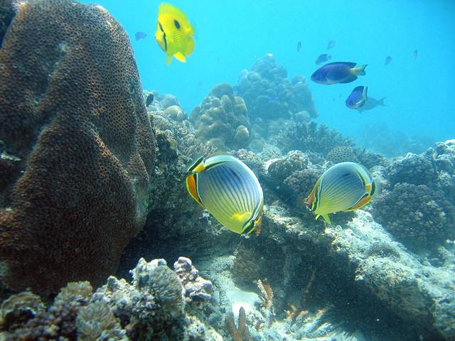 Les poissons-papillons aux Seychelles