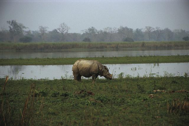 Un rhinocéros dans le parc de Kaziranga