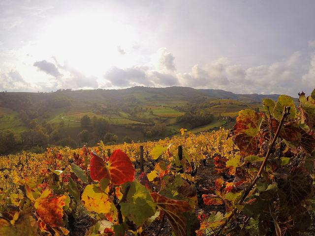 Un paysage dans le Beaujolais, au bord d'un chemin