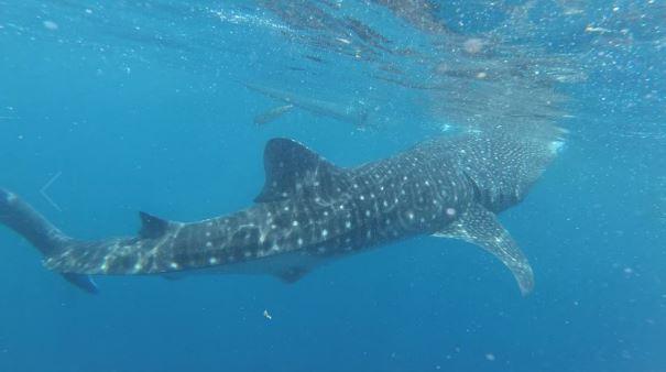 Le requin-baleine à Oslob