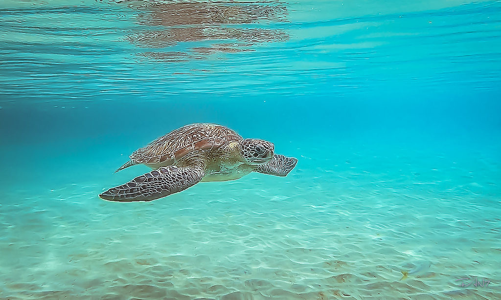 Une tortue en Martinique